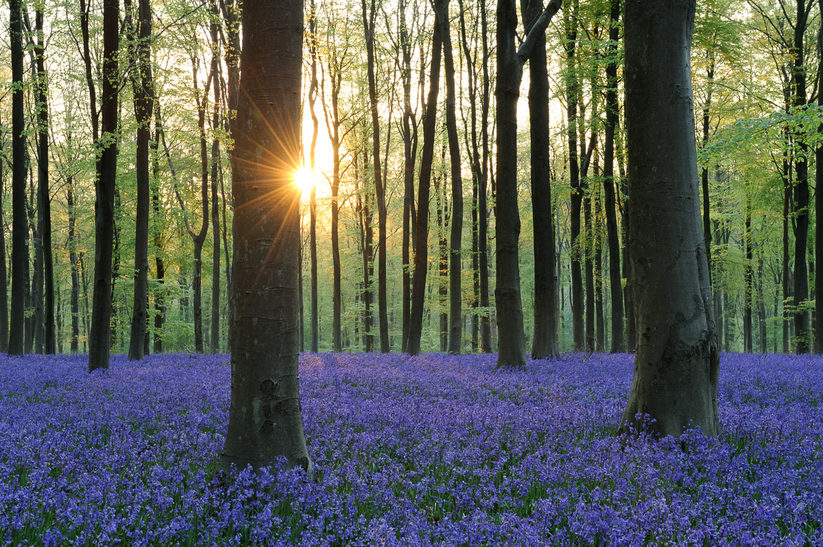 Pair of beech trees among a carpet of Bluebells (Hyacinthoides non-scripta) at dawn in West Woods, Wiltshire, UK. Image © Stephen Spraggon.