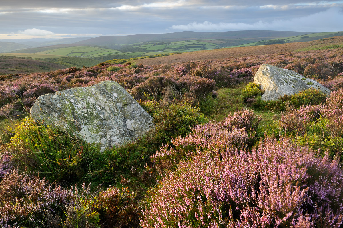 A pair of standing stones, known as the Whit Stones, on Porlock Common surrounded by flowering heather. Exmoor, UK. Image © Stephen Spraggon.