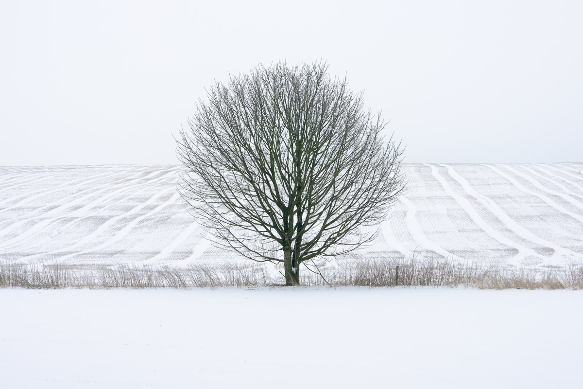 A bare, round tree standing between two fields covered in snow. Image © Stephen Spraggon.