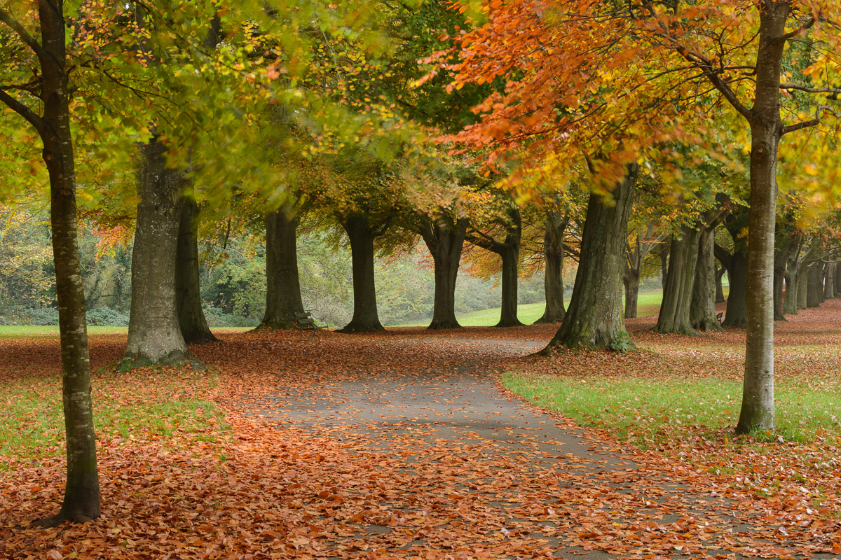 A beautiful avenue of autumnal Beech trees on Clifton Downs, Bristol. Image © Stephen Spraggon.