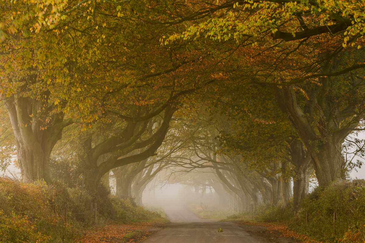 An avenue of autumnal Beech trees forming a tunnel over a road in Kilmington Common, Wiltshire. Image © Stephen Spraggon.