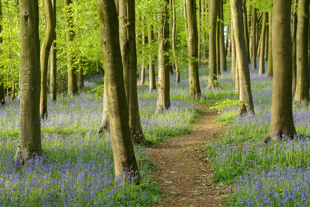 Beech woodland carpeted in Bluebells near Wrington, North Somerset. Image © Stephen Spraggon.