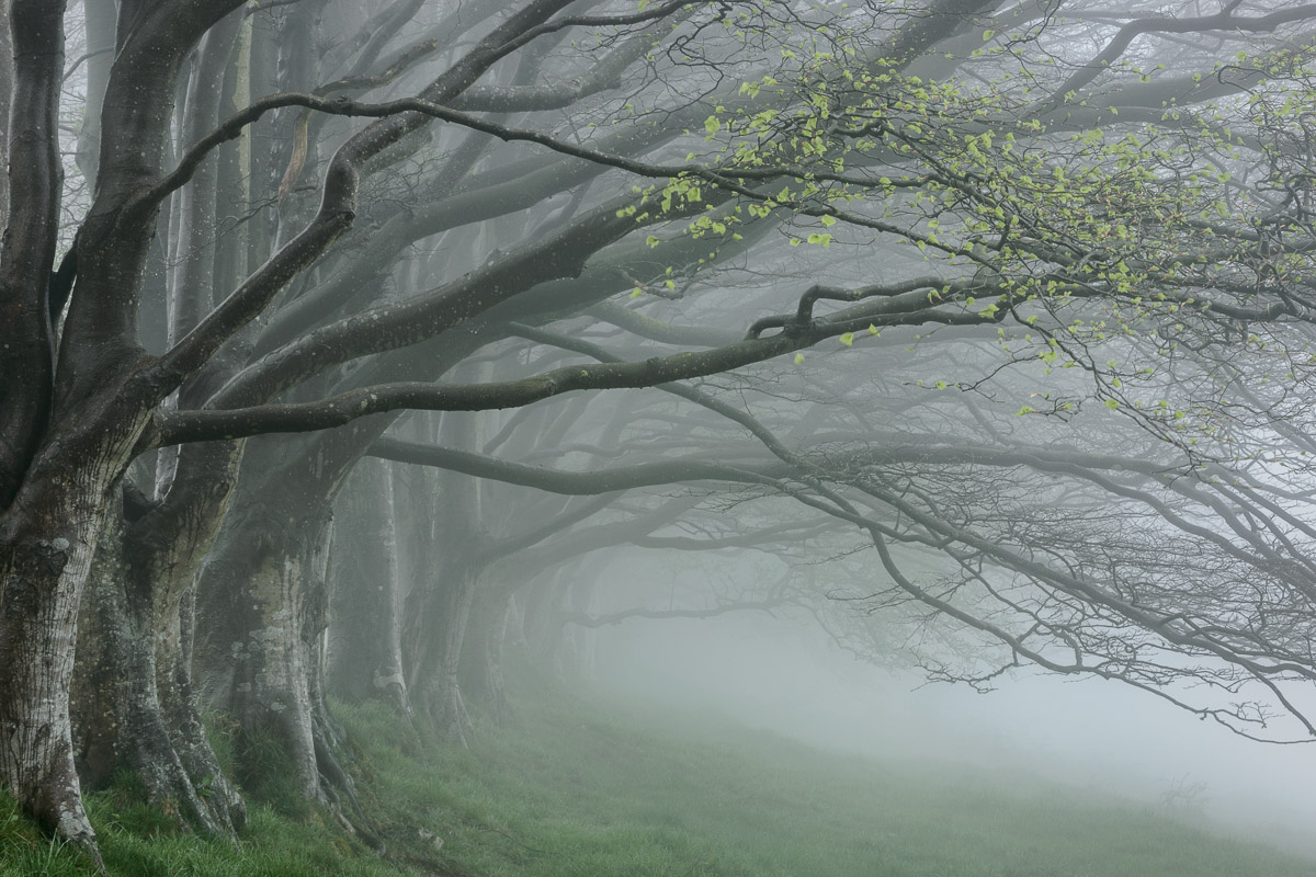 A sprinkling of fresh green leaves amongst an otherwise leafless row of beech trees in the fog at Draycott Sleights, Somerset. Image © Stephen Spraggon.