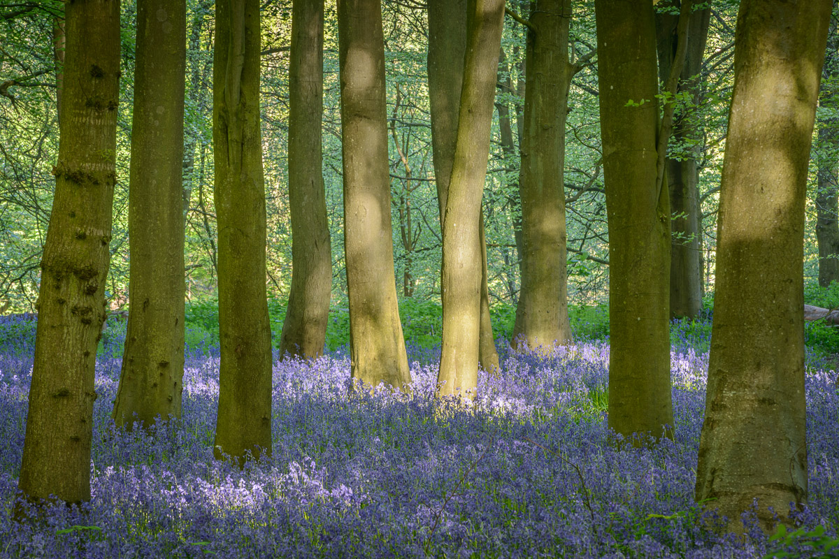 A clump of Beech trees amongst a carpet of bluebells. Image © Stephen Spraggon.