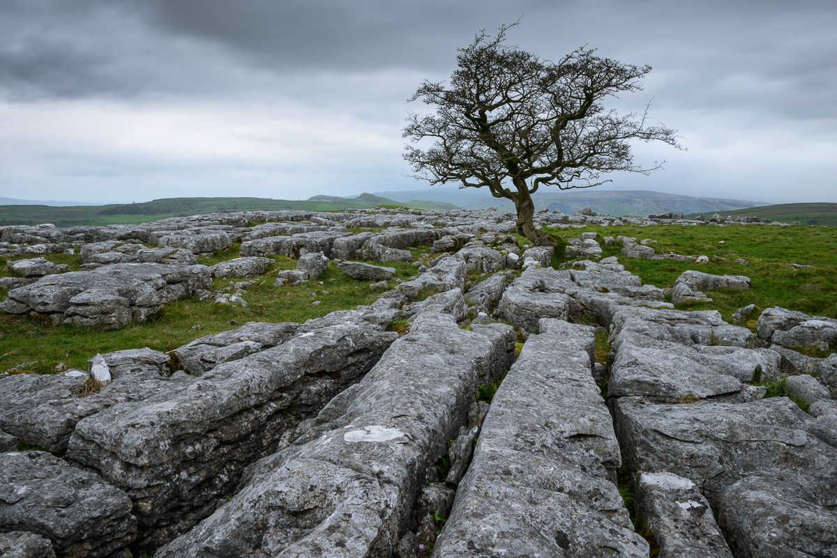 A lone hawthorn tree growing on Limestone pavement at Winskill Stones Nature Reserve in the Yorkshire Dales. Image © Stephen Spraggon.