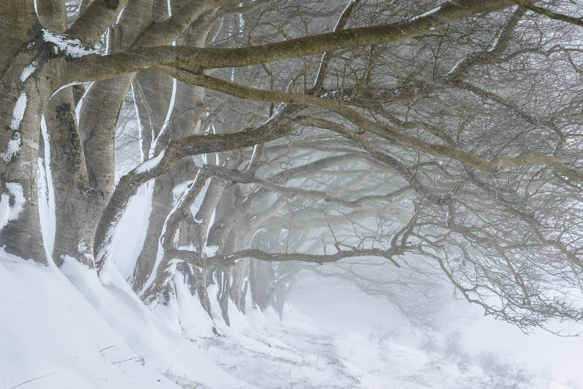 A row of Beech trees covered in snow during a blizzard at Draycott Sleights Nature Reserve, Somerset.. Image © Stephen Spraggon.