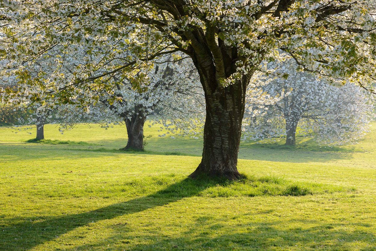 A group of four blossoming Wild Cherry trees (Prunus avium) in parkland in Somerset, UK. Image © Stephen Spraggon.